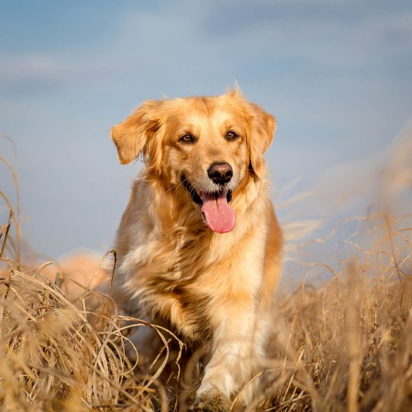 Golden Retriever Running - WoofWell